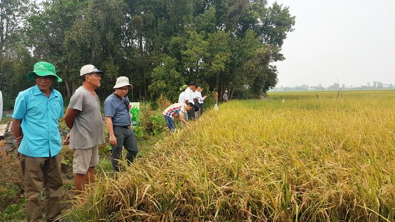 Liên kết sản xuất lúa hữu cơ, doanh nghiệp và nông dân cùng có lợi