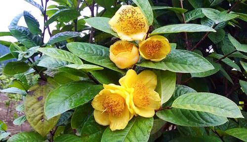 Trà hoa vàng - nữ hoàng của các loài trà