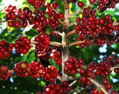 Giá cà phê hôm nay 17/6: Đi ngang, dao động từ 31.400 - 32.600 đồng/kg