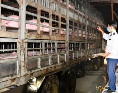 Lô heo sống thứ 2 nhập khẩu từ Thái Lan về đến Đồng Nai