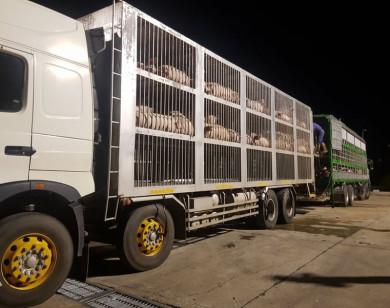 Nhập khẩu thêm gần 2.500 con heo từ Thái Lan, giá heo trong nước có giảm mạnh?